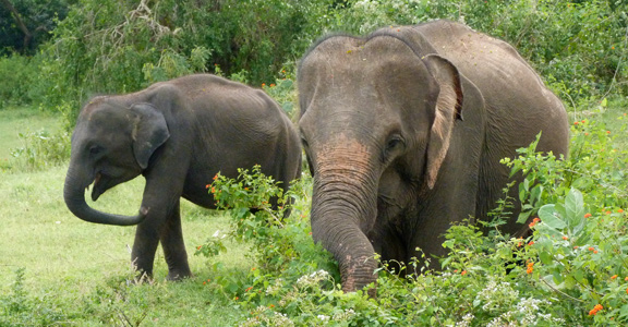 Elephants-in-Yala-Preserve-web